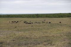Zebre e gnu che pascono, parco nazionale di Kruger, Sudafrica immagini stock