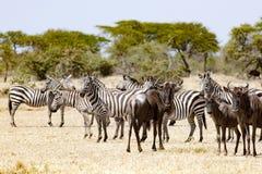 Zebre e gnu che stanno insieme in Tanzania Fotografia Stock