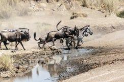 Zebre e wildebeest Immagini Stock Libere da Diritti
