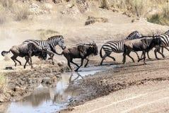 Zebre e wildebeest Fotografia Stock Libera da Diritti