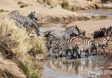 Zebre e wildebeest Immagini Stock