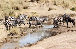 Zebre e wildebeest Immagine Stock
