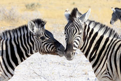 Zebre in Etosha Parc Namibia Fotografie Stock