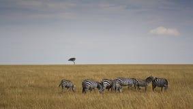 Zebre i Kenia Royaltyfri Foto