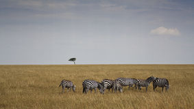 Zebre in Kenia Royalty Free Stock Photo