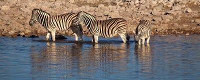 Zebre in lago Fotografia Stock