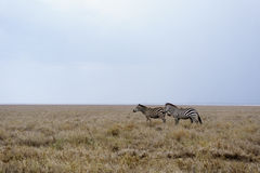 Zebre in lago Manyara immagini stock