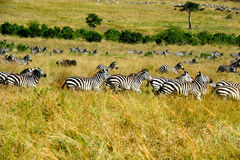 Zebre, Masai Mara Immagini Stock Libere da Diritti