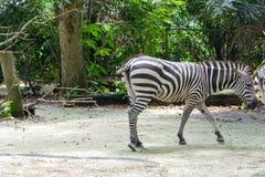 Zebre mentre mangiando Immagine Stock Libera da Diritti