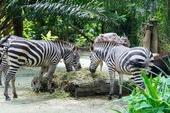 Zebre mentre mangiando Immagini Stock Libere da Diritti