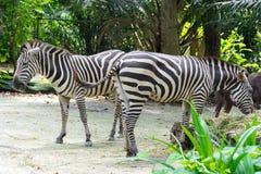 Zebre mentre mangiando Immagini Stock