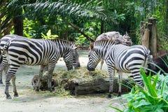 Zebre mentre mangiando Fotografia Stock