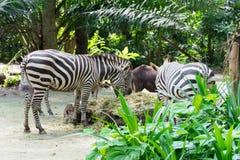 Zebre mentre mangiando Fotografia Stock Libera da Diritti