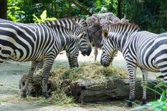 Zebre mentre mangiando Fotografie Stock Libere da Diritti