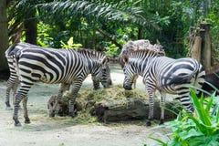 Zebre mentre mangiando Immagine Stock