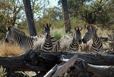 Zebre nel Bush Fotografia Stock