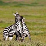 Zebre nel cratere di Ngorongoro Fotografia Stock Libera da Diritti