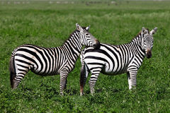 Zebre nel cratere di Ngorongoro Fotografie Stock