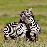 Zebre nel cratere di Ngorongoro Immagini Stock Libere da Diritti