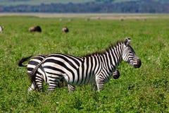 Zebre nel cratere di Ngorongoro Fotografia Stock