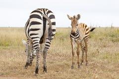 Zebre nel Kenya Fotografia Stock