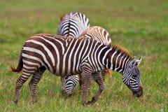 Zebre nel Maasai Mara Fotografia Stock Libera da Diritti