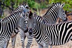 Zebre nel parco nazionale di Kruger Fotografie Stock Libere da Diritti