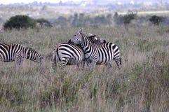 Zebre nel parco nazionale 1 di Nariobi Fotografia Stock