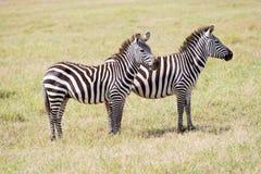 Zebre nel parco nazionale di Serengeti Immagini Stock