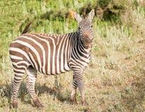 Zebre nel parco nazionale di Serengeti Fotografia Stock