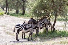 Zebre nel parco nazionale di Tarangire, Tanzania Fotografia Stock Libera da Diritti