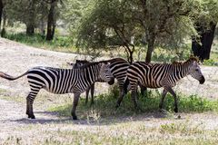 Zebre nel parco nazionale di Tarangire, Tanzania Immagine Stock