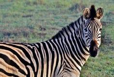 Zebre nella foschia… Fotografie Stock Libere da Diritti