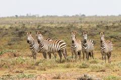 Zebre nella riserva nazionale di Mara del Masai, Kenia fotografia stock libera da diritti