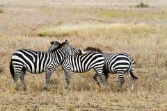 Zebre nella sosta nazionale di Serengeti, Tanzania Fotografie Stock Libere da Diritti