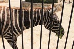 Zebre nello zoo Fotografia Stock Libera da Diritti