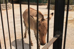 Zebre nello zoo Fotografie Stock Libere da Diritti