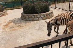 Zebre nello zoo Fotografie Stock