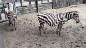 Zebre nello zoo di Budapest video d archivio