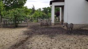 Zebre nello zoo di Budapest stock footage