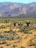 Zebre sudafricane Fotografia Stock Libera da Diritti