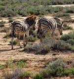 Zebre sudafricane che vagano Fotografie Stock
