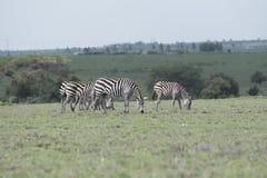 Zebre sulle pianure di Kitengela Immagini Stock Libere da Diritti