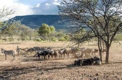 Zebre in Tanzania Fotografia Stock Libera da Diritti