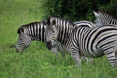 Zebre in un campo Immagini Stock
