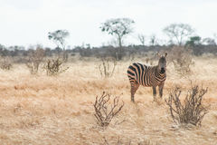 Zebre Stock Photography