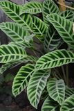Zebrina de Calathea photos stock