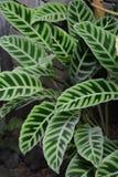 Zebrina di Calathea fotografie stock