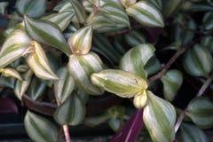Zebrina di tradescantia Piante della Camera Vendita delle piante della casa Fotografie Stock Libere da Diritti