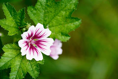 Zebrina Malva Hollyhock Flower Background Stock Image